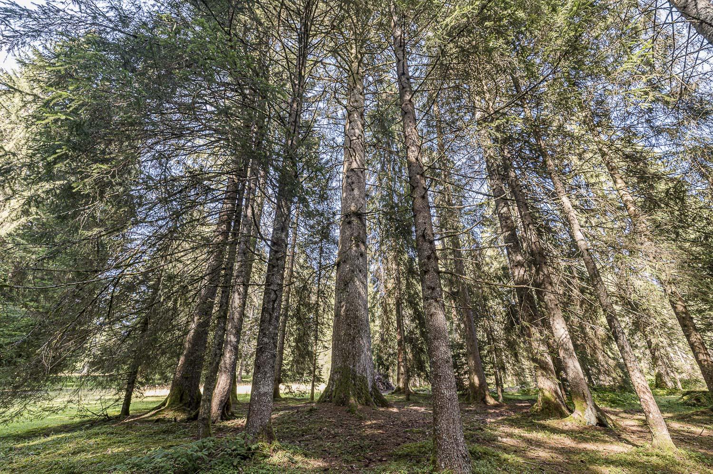 Gros sapin – Forêt de la Neuvevelle